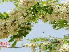 Cách chữa bệnh trĩ bằng hoa hòe