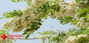Tiết lộ cách chữa bệnh trĩ bằng hoa hòe