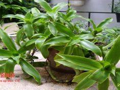 Cách chữa bệnh trĩ bằng cây lược vàng