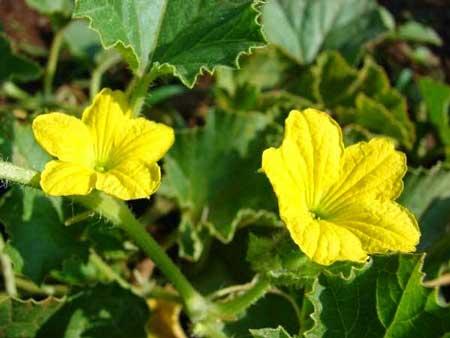 Cách chữa trị bệnh trĩ bằng hoa mướp
